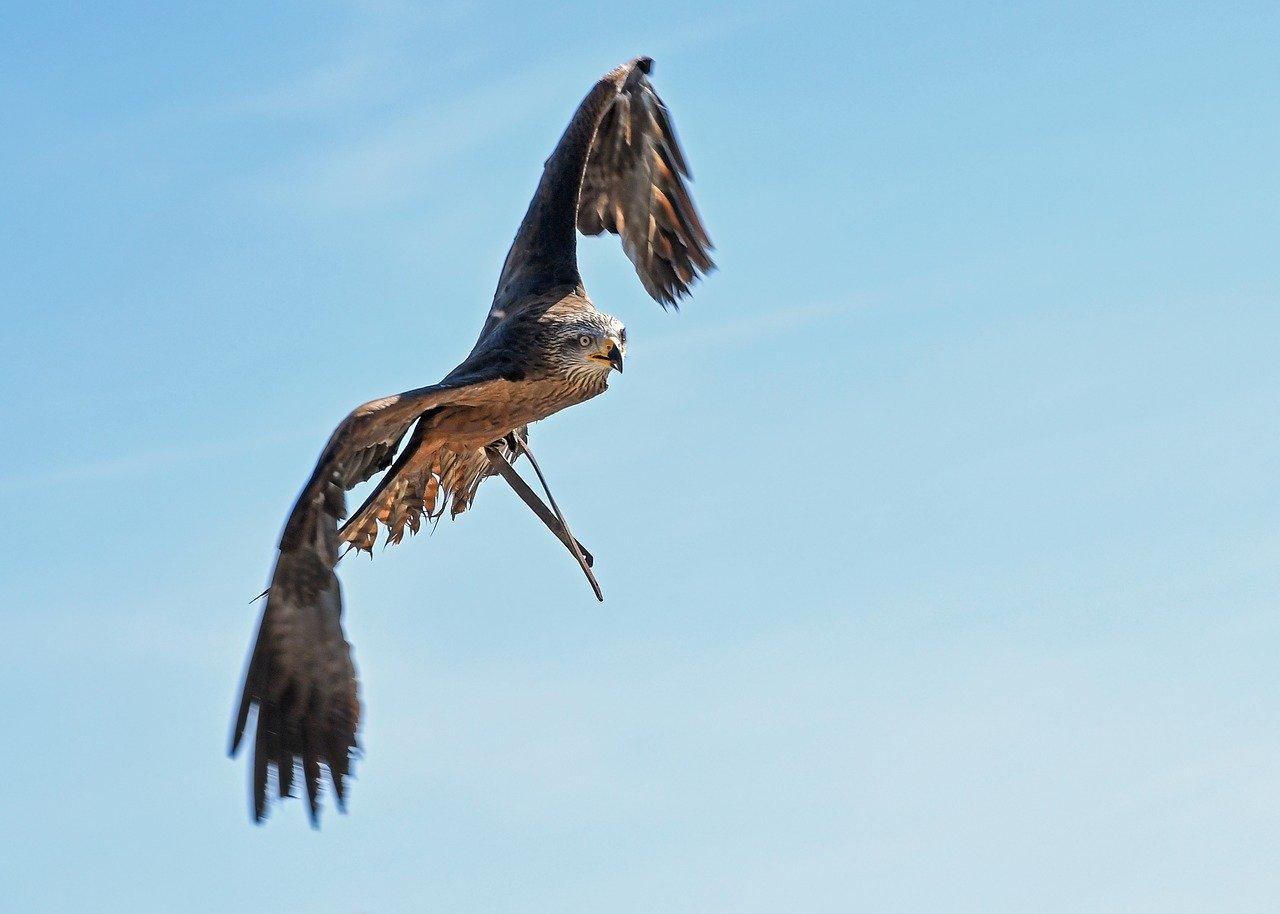 鷹が獲物を狙う様子
