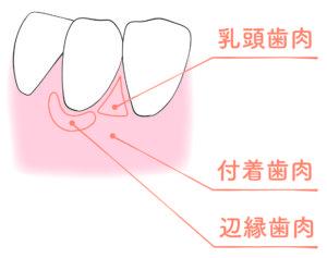 歯茎の構造