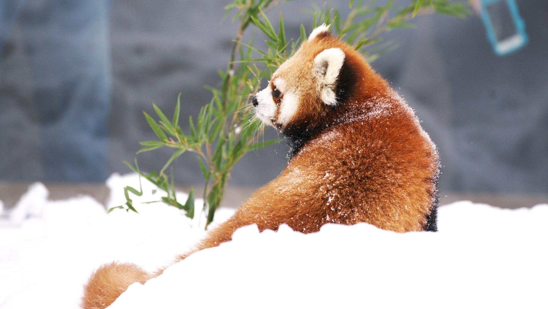 冬眠の準備をするレッサーパンダ