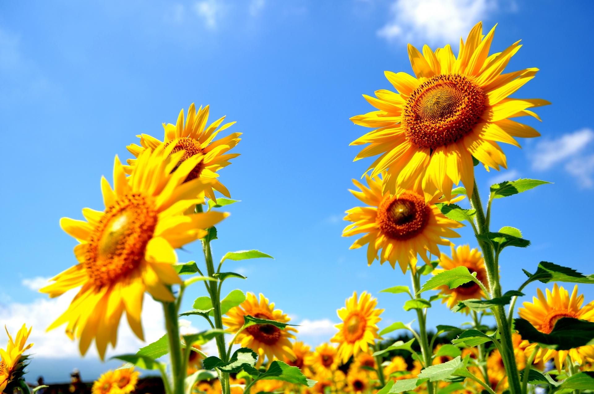 紫外線のメリット 太陽を浴びるひまわり