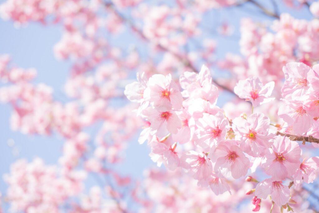 桜が8Kに